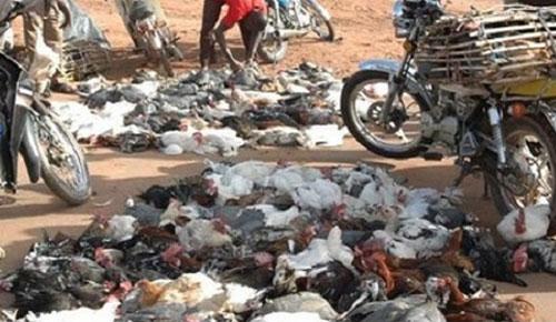 La grippe aviaire fait une nouvelle apparition au Togo
