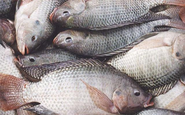 Togo, Alimentation : Le Tilapia, décidément un poisson à problème.